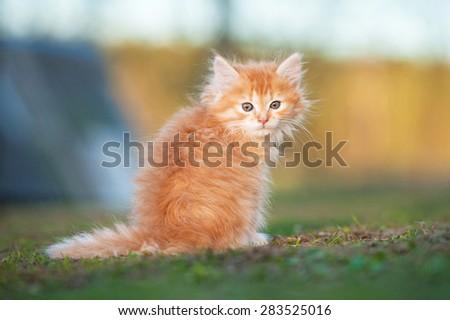 Little red kitten sitting outdoor - stock photo