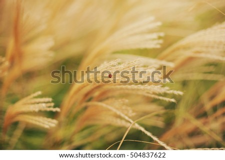 Little Red Ladybug sitting on the golden grass of autumn season, golden field tilted by the wind