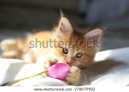 Little red Maine Coon kitten playing wirh the flower - stock photo