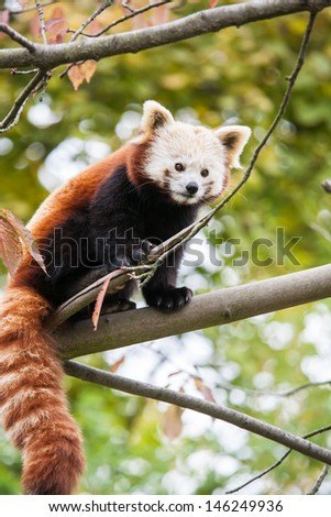 little red panda bear climbing on a tree - stock photo