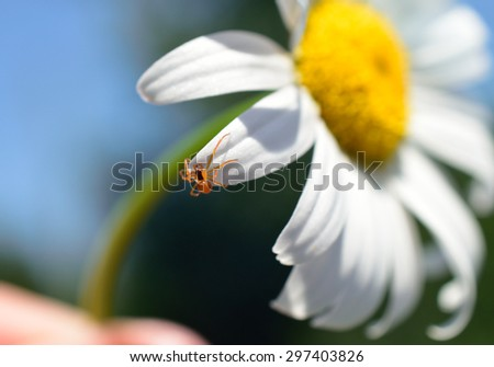 Little red spider on wild daisy - stock photo