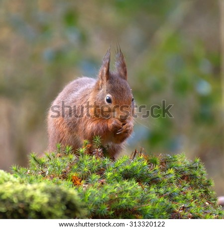 little red squirrel is nibbling on a hazelnut while sitting in the forest - stock photo