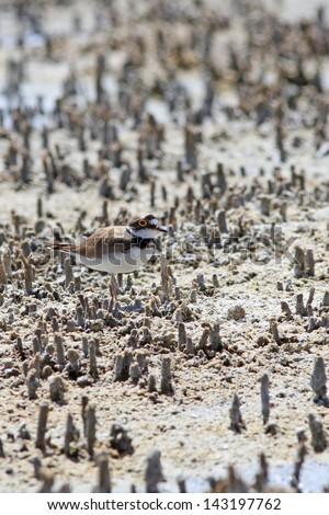 Little Ringed Plover - stock photo