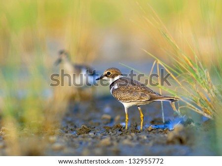 Little Ringed Plover - Charadrius dubius - stock photo