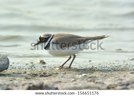 Little Ringed Plover (Charadrius dubius)  - stock photo