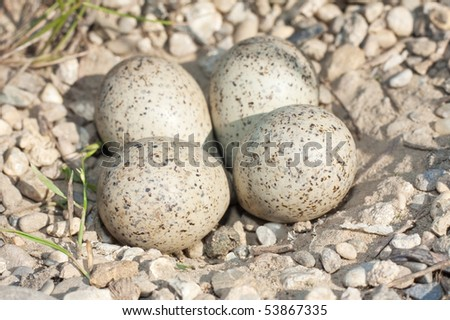 little ringed plover ( Charadrius dubius ) nest with eggs - stock photo