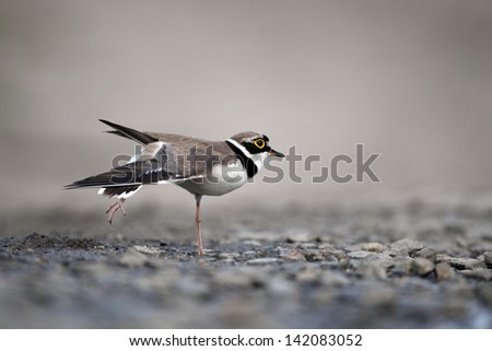 Little-ringed plover, Charadrius dubius, single bird wing stretching by water, Bulgaria, May 2010 - stock photo