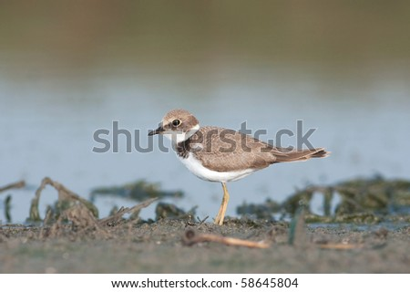 little ringed plover, juvenile ( Charadrius dubius ) - stock photo