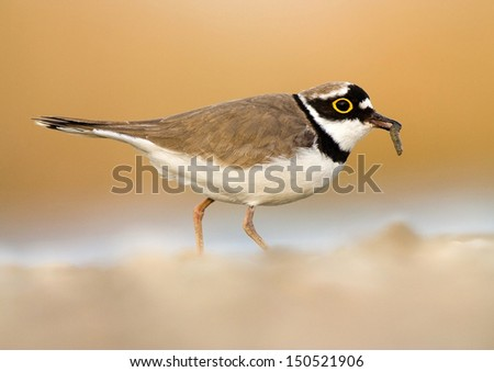 Little ringed plover with catch on blurred yellow background - stock photo