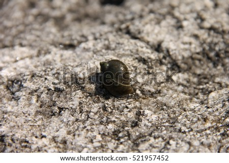 Little River snail on stone.