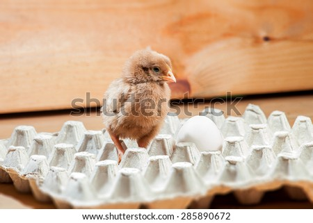 Little rooster in a paper tray for egg on a wooden background, a chicken with egg. - stock photo