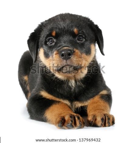 Little Rottweiler puppy dog lies down - stock photo