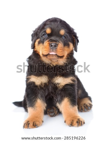 Little rottweiler puppy sitting in front view. Isolated on white background - stock photo