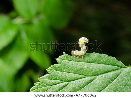 little sawfly larva