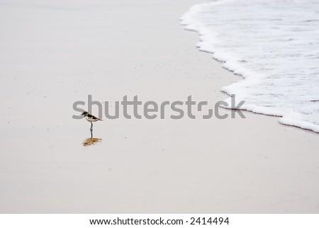little shorebird - stock photo
