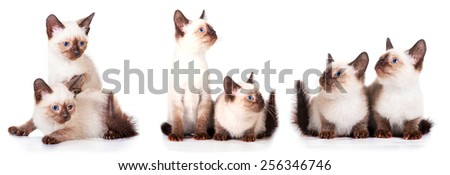 Little siamese kittens isolated on white background - stock photo