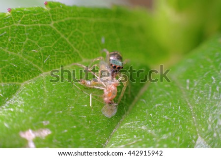 little spider on the leaf with captured prey - stock photo