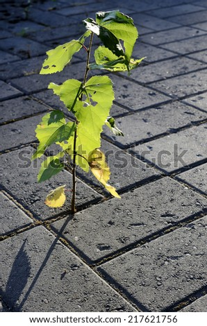 little sprout of a birch-tree growing on the pavement in the city - stock photo