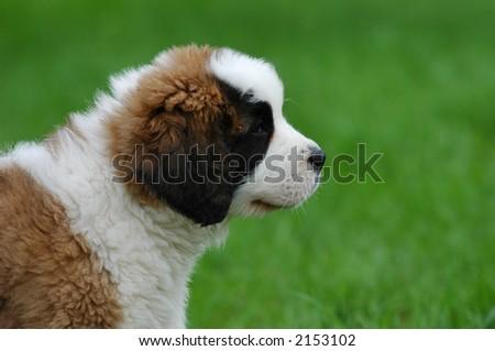 Little St.Bernard's dog (St.Bernhardshund) puupy - stock photo