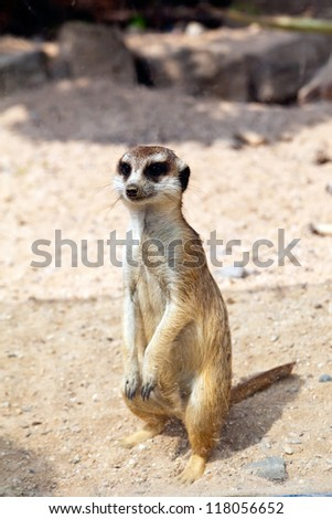 little standing meerkat in a Prague Zoo