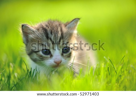 Little striped kitten hiding in the grass close-up