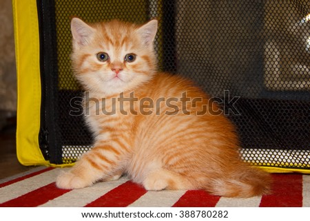 Little striped kitten tabby red color. Home small pet cat. British kitten color gold on silver. Kitten near the cat's house. - stock photo