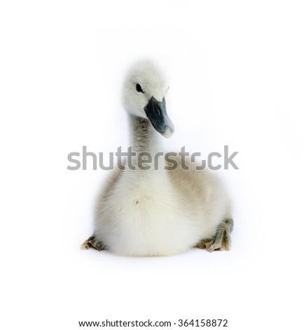 little swan on white background - stock photo