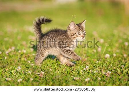 Little tabby kitten running outdoors - stock photo