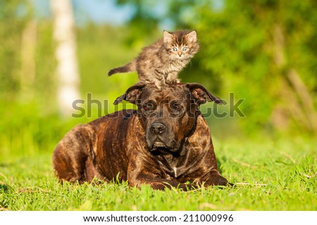 Little tabby kitten standing on the head of american staffordshire terrier - stock photo