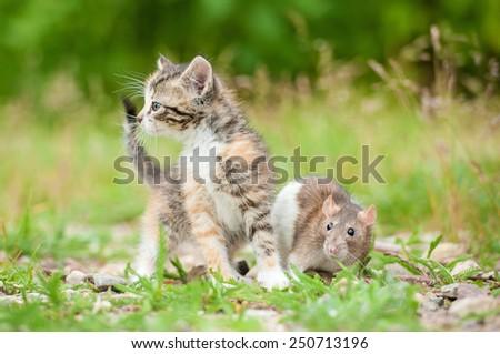 Little tabby kitten with a rat  - stock photo