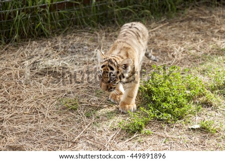 Little tiger in the grass.