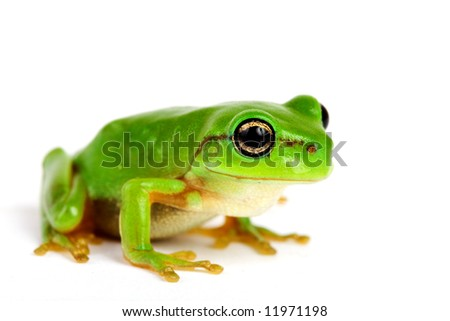 Little tree-frog on white background - close-up - stock photo