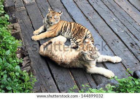 little twin tigers in a Guangzhou zoo, China - stock photo