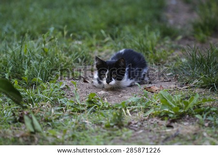 Little white black cat is ready to pounce. Hunted kitten. - stock photo