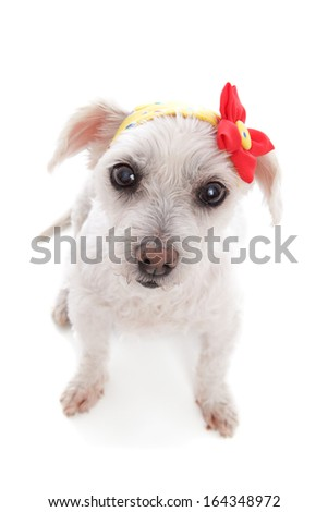Little white dog wearing a yellow print bandana with a red and yellow flower decoration.  White background.  Above view.