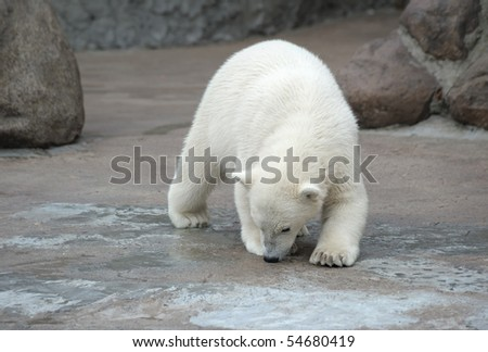 Little white polar bear snuff - stock photo