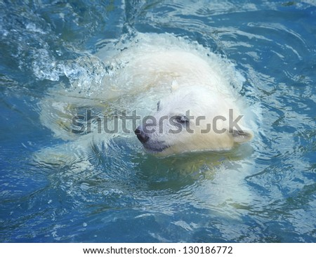 Little white polar bear swimming in the water - stock photo