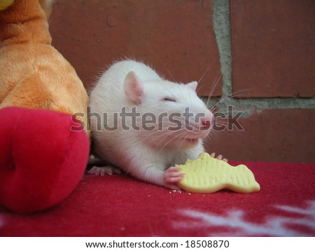 little white rat eating a  cookie