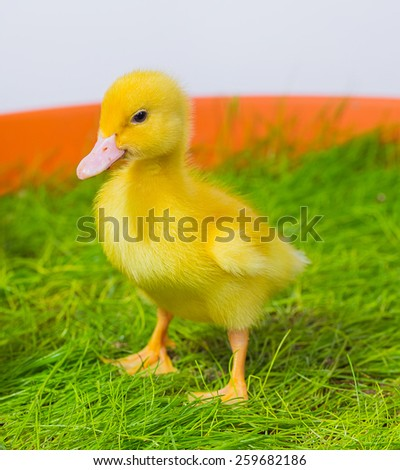 little yellow duckling on white background. happy easter - stock photo