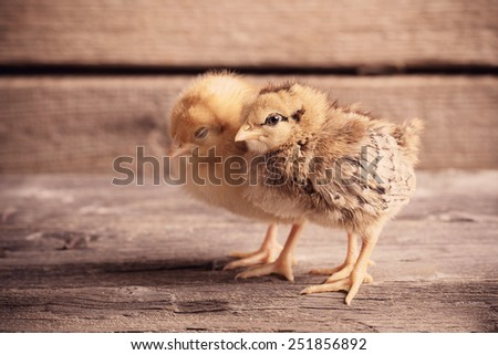 little yellow kid chick standing on wooden background - stock photo