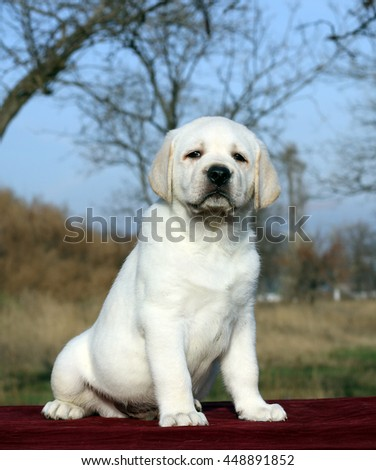 little yellow labrador puppy sitting on red background
