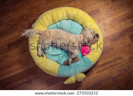 Little yorkie dog lying in yellow, turquoise circular bed with treats bone and pink ball. Sleeping pose - stock photo