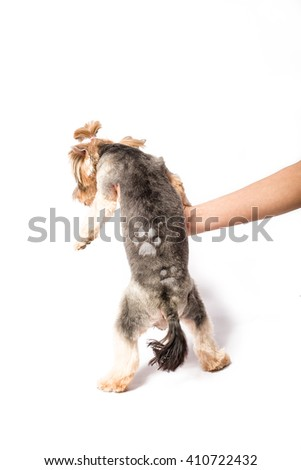 Little Yorkie pup with new haircut in groomer's hand - isolated on white and with shadow on the floor - stock photo
