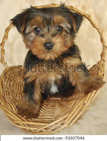 Little Yorkie puppy sitting in a basket with a super sweet look on his face. - stock photo