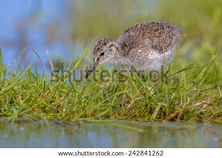 Little young chick of Black-tailed Godwit (Limosa limosa) one of the wader bird target species  in dutch nature protection projects - stock photo