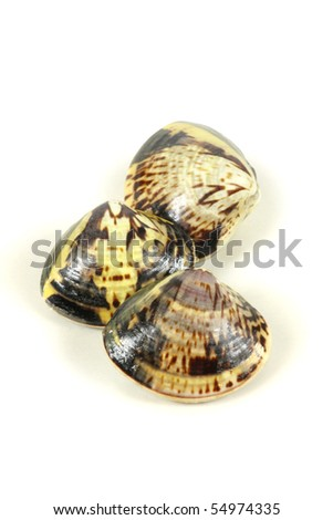 Live clams in isolated white background