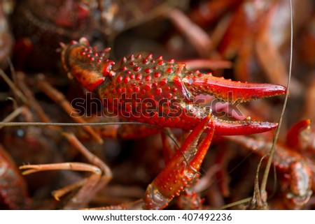 Live Crawfish Claw - stock photo