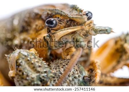 Live crayfish close up on a white background.