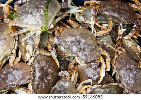 Live Dungeness Crabs in the Pacific Northwest - stock photo