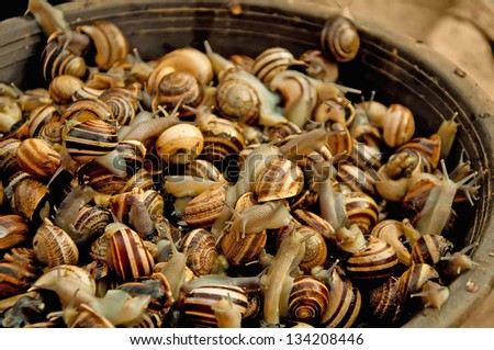 Live edible snails in a brown basket - stock photo